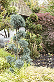 Cypress Topiaries in a garden, autumn, Germany