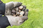 Escargots dans les mains d'un jardinier, automne, Pas de Calais, France