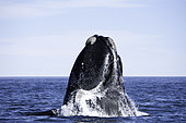 Breaching southern right whale, Eubalaena australis, Conservation Dependant (IUCN), UNESCO Natural World Heritage Site, Golfo Nuevo, Peninsula Valdes, Chubut, Patagonia, Argentina, Atlantic Ocean