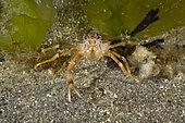Squad lobster, Munida quadrispina, UNESCO Natural World Heritage Site, Golfo Nuevo, Peninsula Valdes, Chubut, Patagonia, Argentina, Atlantic Ocean