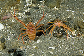 Couple of squad lobster, Munida quadrispina, UNESCO Natural World Heritage Site, Golfo Nuevo, Peninsula Valdes, Chubut, Patagonia, Argentina, Atlantic Ocean