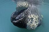 Southern right whale, Eubalaena australis, Conservation Dependant (IUCN), UNESCO Natural World Heritage Site, Golfo Nuevo, Peninsula Valdes, Chubut, Patagonia, Argentina, Atlantic Ocean