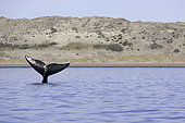 Tail of Southern right whale, Eubalaena australis, Conservation Dependant (IUCN), UNESCO Natural World Heritage Site, Golfo Nuevo, Peninsula Valdes, Chubut, Patagonia, Argentina, Atlantic Ocean