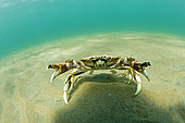 Crab defending territory, UNESCO Natural World Heritage Site, Golfo Nuevo, Peninsula Valdes, Chubut, Patagonia, Argentina, Atlantic Ocean