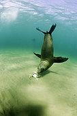 South American sea lion, Otaria flavescens, interestd by a crab, UNESCO Natural World Heritage Site, Golfo Nuevo, Peninsula Valdes, Chubut, Patagonia, Argentina, Atlantic Ocean