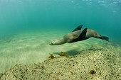 South American sea lion, Otaria flavescens, UNESCO Natural World Heritage Site, Golfo Nuevo, Peninsula Valdes, Chubut, Patagonia, Argentina, Atlantic Ocean