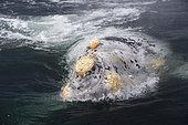 A rare white, albino, Right whale, Eubalaena australis, Conservation Dependant (IUCN), UNESCO Natural World Heritage Site, Golfo Nuevo, Peninsula Valdes, Chubut, Patagonia, Argentina, Atlantic Ocean