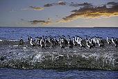 Imperial Shag, Phalacrocorax atriceps or Blue-eyed Cormorant at Sunset, Puerto Piramides, UNESCO Natural World Heritage Site, Golfo Nuevo, Peninsula Valdes, Chubut, Patagonia, Argentina, Atlantic Ocean