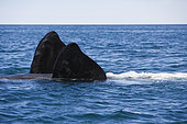 Pectoral fin of southern right whale, Eubalaena australis, swimming on its back, Conservation Dependant (IUCN), UNESCO Natural World Heritage Site, Golfo Nuevo, Peninsula Valdes, Chubut, Patagonia, Argentina, Atlantic Ocean