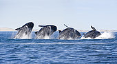 Breaching's sequence of a Southern right whale, Eubalaena australis , Conservation Dependant (IUCN), UNESCO Natural World Heritage Site, Golfo Nuevo, Peninsula Valdes, Chubut, Patagonia, Argentina, Atlantic Ocean