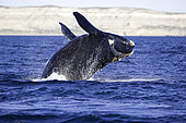 Breaching of a Southern right whale, Eubalaena australis, Conservation Dependant (IUCN), UNESCO Natural World Heritage Site, Golfo Nuevo, Peninsula Valdes, Chubut, Patagonia, Argentina, Atlantic Ocean