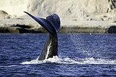 Tail Splashing Southern right whale, Eubalaena australis, Conservation Dependant (IUCN), UNESCO Natural World Heritage Site, Golfo Nuevo, Peninsula Valdes, Chubut, Patagonia, Argentina, Atlantic Ocean