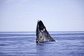 Calf spy hopping, Southern right whale (Eubalaena australis), Conservation Dependant (IUCN), UNESCO Natural World Heritage Site, Golfo Nuevo, Peninsula Valdes, Chubut, Patagonia, Argentina, Atlantic Ocean