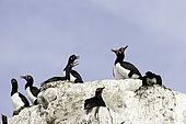 Rock Shag (Phalacrocorax magellanicus), also known as the Magellanic Cormorant, Puerto Piramides, UNESCO Natural World Heritage Site, Golfo Nuevo, Peninsula Valdes, Chubut, Patagonia, Argentina, Atlantic Ocean