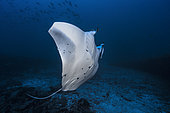 Reef manta ray (Mobula alfredi) with the tip of its wing eaten by a shark, Mayotte, Indian Ocean