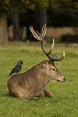 Jackdaw (Corvus monedula), feeding on ticks and other invertebrates on red deer stag (Cervus elaphus), England, UK