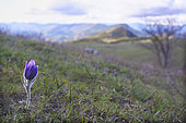Haller's Anemone (Anemone halleri) in a mountain meadow in spring, Drôme, France