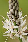 White Asphodel (Asphodelus albus) detail of flowering stems in spring in a meadow below a small road, Drôme, France