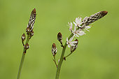 White Asphodel (Asphodelus albus) Flowering stems in spring in a meadow below a small road, Drôme, France