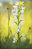 Detail of Loose-flowered Orchid (Anacamptis laxiflora) in white form in a wet meadow, Allier, Auvergne, France