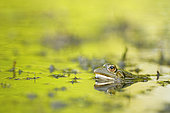 Pool Frog (Pelophylax lessonae) in a dead arm of Allier, one of the last wild rivers of Europe, Auvergne, France.