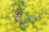 European hare (Lepus europaeus) in a rapeseed field in bloom, Hesse, Germany