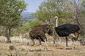 African Ostrich (Struthio camelus) couple in Kruger National park, South Africa