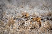 Chacal à chabraque (Canis mesomelas) et jeune, Kruger, Afrique du Sud