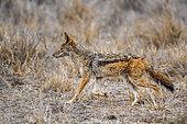 Chacal à chabraque (Canis mesomelas) marchant dans la savane, Kruger, Afrique du Sud