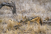Black-backed jackal (Canis mesomelas) with young in Kruger National park, South Africa