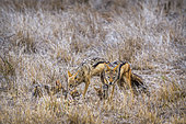 Black-backed jackals (Canis mesomelas) feeding youngs in Kruger National park, South Africa