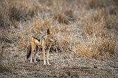Chacal à chabraque (Canis mesomelas) dans la savane, Kruger, Afrique du Sud