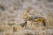Chacal à chabraque (Canis mesomelas) nourrissant ses jeunes, Kruger, Afrique du Sud