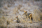 Black-backed jackal (Canis mesomelas) and young playing in Kruger National park, South Africa