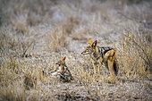 Chacal à chabraque (Canis mesomelas) et jeunes jouant, Kruger, Afrique du Sud