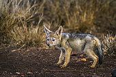 Jeune Chacal à chabraque (Canis mesomelas), Kruger, Afrique du Sud