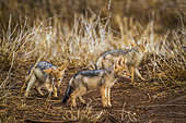 Jeunes Chacals à chabraque (Canis mesomelas), Kruger, Afrique du Sud