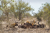 Hyènes tachetées (Crocuta crocuta) et Chacal à chabraque (Canis mesomelas)sur une carcasse, Kruger, Afrique du Sud
