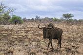Gnou à queue noire (Connochaetes taurinus) marchant dans le bush, Kruger, Afrique du Sud