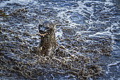 Spotted hyaena (Crocuta crocuta) playing in water in Kruger National park, South Africa