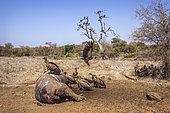 Vautours africains (Gyps africanus) sur carcasse, Kruger, Afrique du Sud