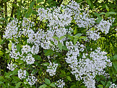 Syringa persica 'Alba'