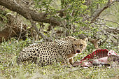 Cheetah (Acinonyx jubatus) near its prey, checking the absence of competing predator, Kruger NP, South Africa