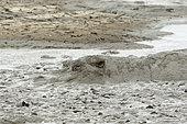 Hippopotamus (Hippopotamus amphibius) and Catfish in a drying waterhole, Kruger NP, South Africa