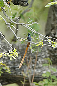 Paradise flycatcher (Terpsiphone viridis) on a branch, Kruger NP, South Africa