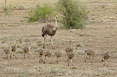Ostriches (Struthio camelus) female and young, Kruger NP, South Africa