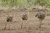 Young Ostriches (Struthio camelus), Kruger NP, South Africa