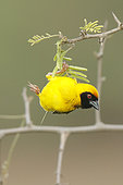 Southern Masked Weaver (Ploceus velatus) male, South Africa
