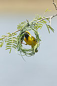 Southern Masked Weaver (Ploceus velatus) Nest making by the male, Kruger NP, South Africa