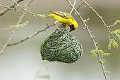 Southern Masked Weaver (Ploceus velatus) Male finishing nest building, Kruger NP, South Africa